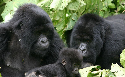 The Apes' World is Shrinking, and So are Their Numbers