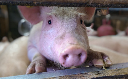 Is There Such a Thing as Humane Factory Farms?