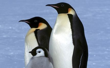 Are Emperor Penguins Marching Toward Oblivion?