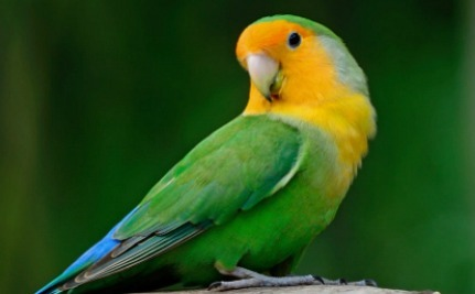 Daily Cute: Lovebird Gets Dressed Up for the Weekend