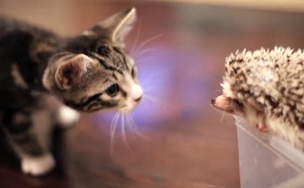 Daily Cute: A Kitten Finds Out What a Hedgehog Is