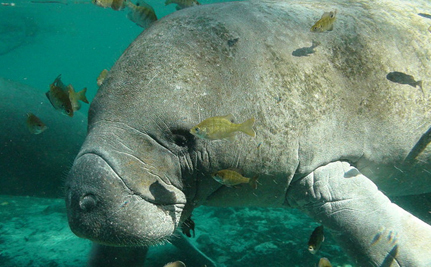 Now is Not the Time to Weaken Protection for Manatees