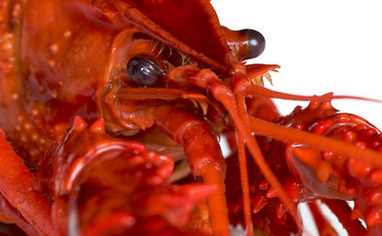 Crayfish Feel Anxiety Too and Here's Why it Matters