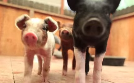 Daily Cute: Sassy Piglets Frolic in Their New Home