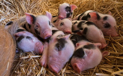10 Pictures of Piglets That Will Melt Your Heart