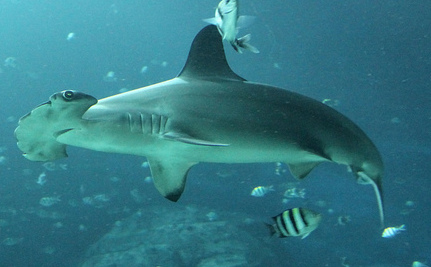 Sad News for Scalloped Hammerhead Sharks, But There is Hope!