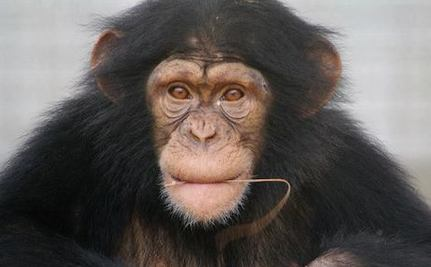 Success! 110 Research Chimps from Notorious Lab Retire to Sanctuary