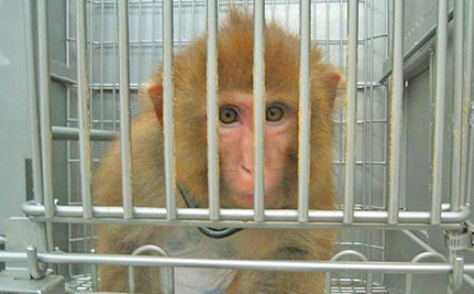 Why Does the University of Washington Still Surgically Experiment on Baby Monkeys?