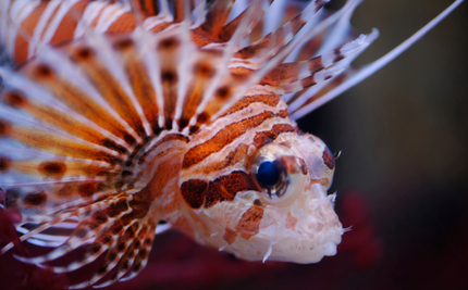 How a 12-Year-Old Girl s Science Project Changed the Way Scientists See Lionfish