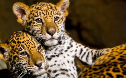 Man Risks Life Saving Leopard Cubs While Their Growling Mother Looks On