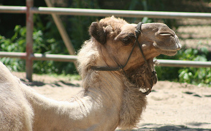 Help India's Dying Camels Before it's Too Late