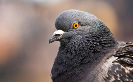 Pennsylvania Could Soon End Shameful Pigeon Shoots – and it Should