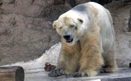 Why is a Sad, Lonely Polar Bear Languishing in a Sweltering Argentina Zoo?