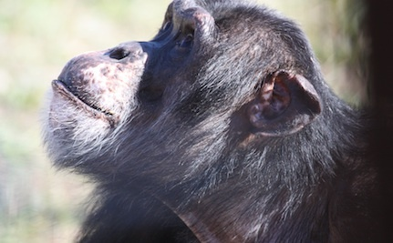 Chimpanzees Don't Belong on Either Side of the Theater Screen