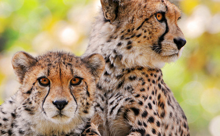 b269a5588 Iran And UN s Plan To Stop Asiatic Cheetah Extinction