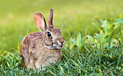 How Scientists Are Trying to Save New England's Rare Rabbits