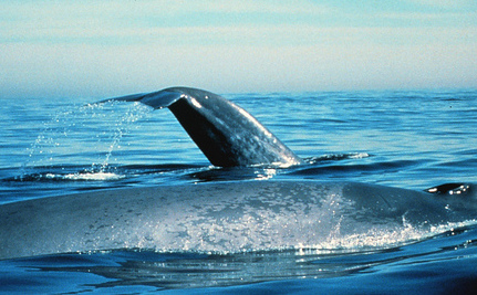 Blue Whales Won't Rebound Unless We Prevent Collisions With Ships
