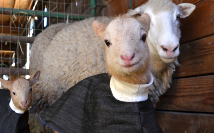 10 Sheep That You Will Wish You Could Cuddle