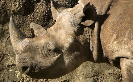 Park Rangers and Poachers in an Escalating War Over Rhinos