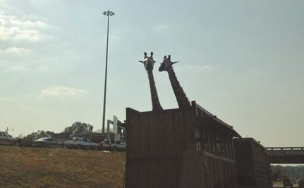 Giraffe Killed After Hitting Head on Highway Overpass During Transport