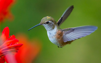 Hummingbirds vs. Drone Helicopters: Who Wins?
