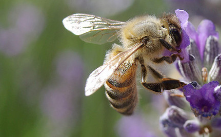 A Bee Doesn't Always Listen to the Hive – She Forages As She Pleases