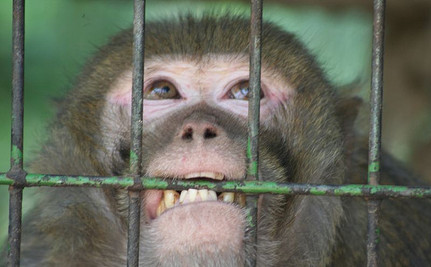 There's More Good News Than Bad for UK's 3,000 Lab Monkeys