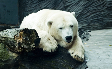 SeaWorld's Lone Polar Bear Dies Unexpectedly, But it Doesn't Have to Happen Again