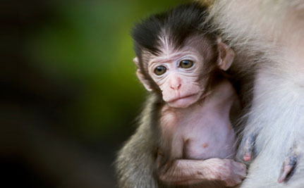 Cruel Maternal Deprivation Experiments Revived at the University of Wisconsin