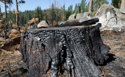 The Rim Fire One Year Later: An Indictment and a Fresh Look at Forest Management