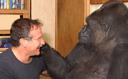 Koko the Gorilla Mourns Actor Robin Williams