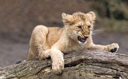 Lion Cub Leads Human to His Mother's Dead Body