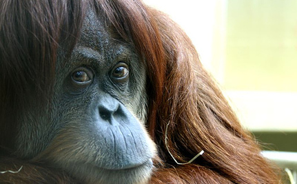 8 Ways to Help Orangutans in Honor of World Orangutan Day