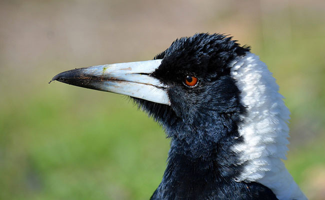 6 Fascinating Facts About The Misunderstood Magpie