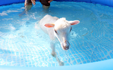Disabled Lamb Has First Swimming Lesson