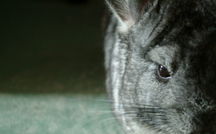 Chinchillas Rescued from Electrocution Thanks to Sam Simon's Compassion