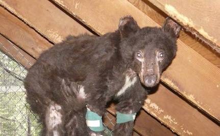 Bear Cub Burned in Wildfire Limps to Human for Help