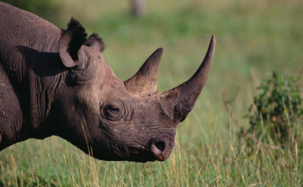 Why Scientists Have Been Searching Zoos for Horny Rhinos