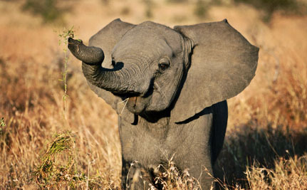 Bill Honoring Slain Elephant Could Help Fight Ivory Trafficking