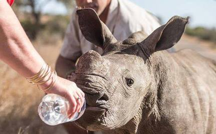 Orphaned Baby Rhino Seeking Shade on Road is Rescued