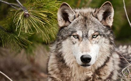 Victory! Wyoming's Wolves Just Got Federal Protection Back