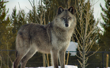 Wolves Can Change Entire Ecosystems. Now Can We Change How We Treat Them?
