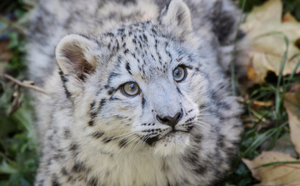 Snow Leopard Cub To Be Rescued From Sad Roadside Cage