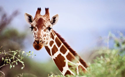 Africas Giraffes Are Quietly Disappearing