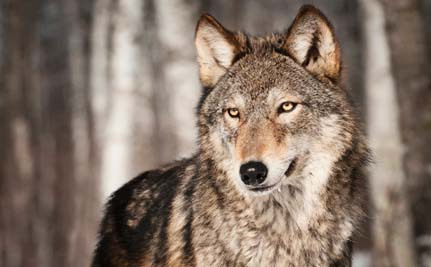 Grand Canyon's Lone Wolf Has Likely Been Killed