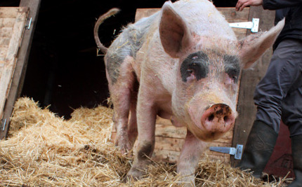10-Year-Old Pig Experiences Freedom for First Time in His Life