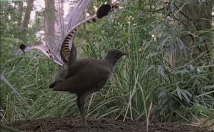 Daily Cute: Amazing Lyre Bird Can Sing like a Camera Shutter and More