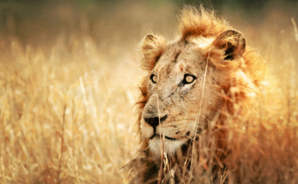 Victory! Australia Says No to Lion Hunting Trophies