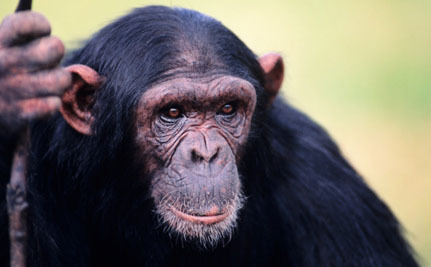 Victory! Captive Chimps Listed as Endangered