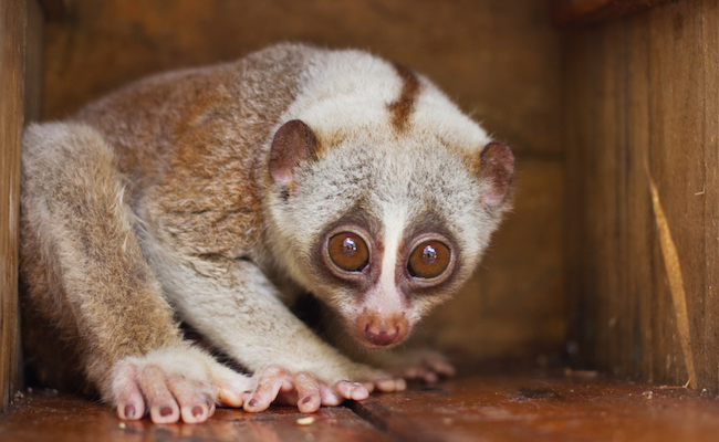 The Truth Behind Adorable Slow Loris Videos WIll Break Your Heart